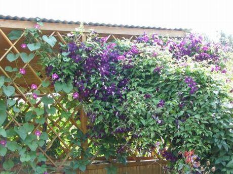 Вьющиеся садовые растения названия и