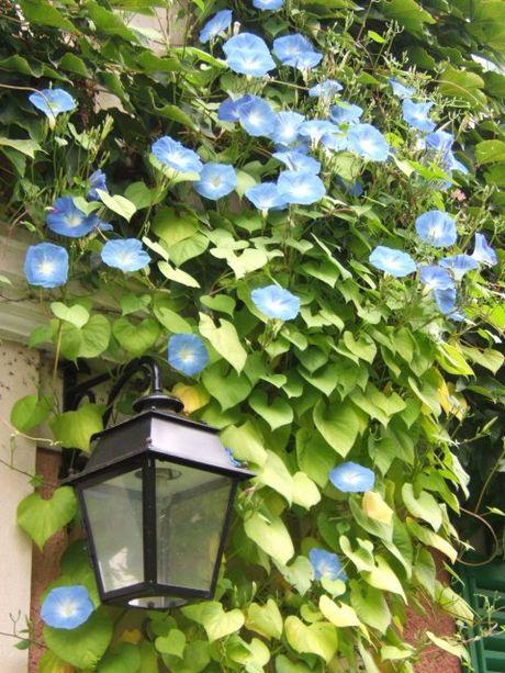 Вьющиеся садовые растения ипомея